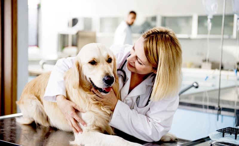 vet with labrador